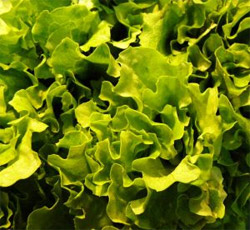 High Nitrate lettuce is a good source of nitrate